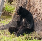 Rosie (aka White Patch) nursing her 3 cubs at her meadow below Calcite Springs