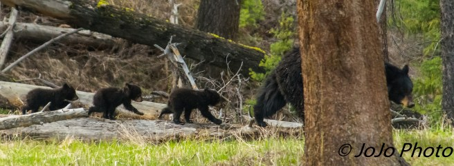 Rosie and her 3 cubs near Calcite Springs
