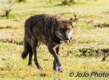 Wolf #889F in Lamar Valley