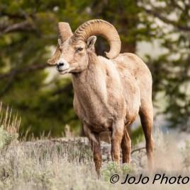 Bighorn Ram at Yellowstone Picnic Area