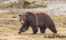 Here comes Beau Grizzly Bear - See the robin in the background?