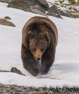 Beau Grizzly Bear at Mary Bay