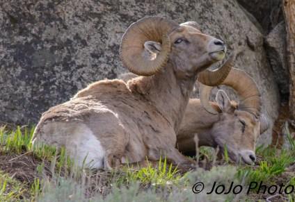 Bighorn Sheep at Yellowstone Picnic Area