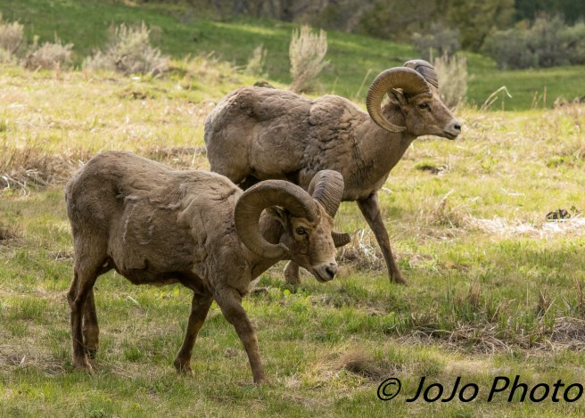 Bachelor herd of Bighorn Sheep at Yellowstone Picnic Area
