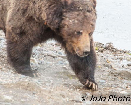 Beau Grizzly Bear at Mary Bay - See the scars?