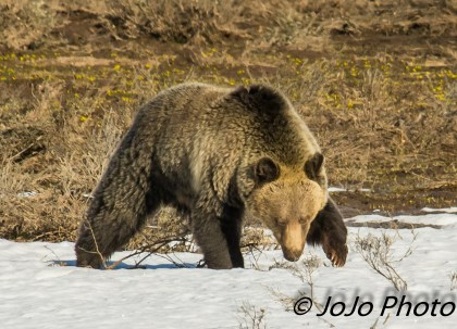 Grizzly in Hayden Valley sniffing and listening for something to eat!