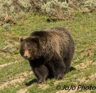 """Grizzly in Hayden Valley - """"Wha chu lookin' at?"""""""