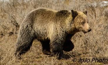 Grizzly, running fast, in Hayden Valley
