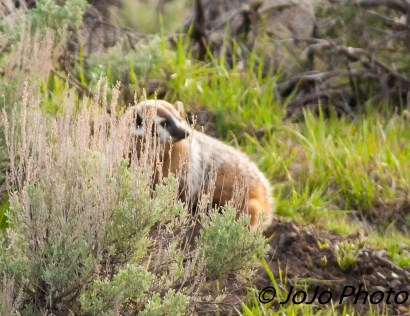 Badger across from Slough Creek