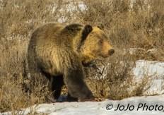 Grizzly in Hayden Valley