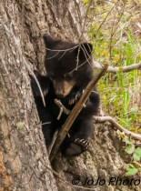 Rosie's shy cub in a tree