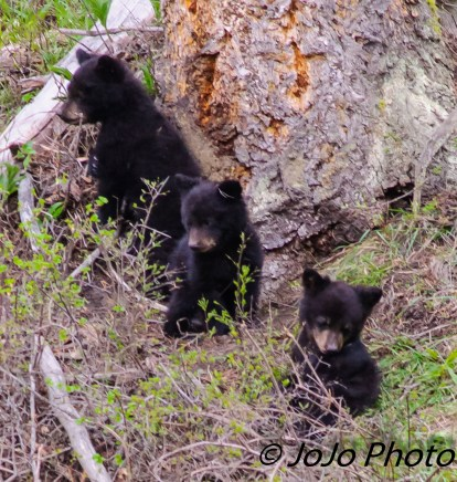 Rosie's three cubs