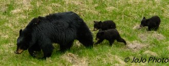 Rosie with her three cubs.