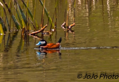 Ruddy Duck at Floating Island Lake