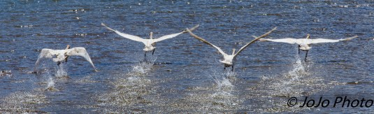 Trumpeter Swans at the Oxbow on the Snake River in Grand Teton National Park