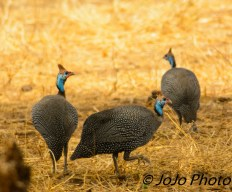 Helmeted Guineafowl in Tarangire National Park