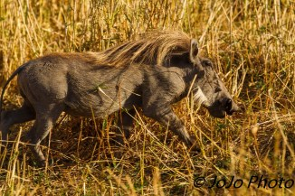 Warthog in Tarangire National Park.