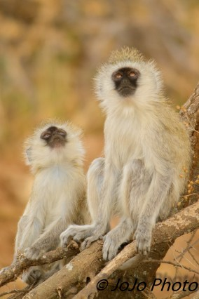 Black-Faced Vervet Monkeys in Tarangire National Park