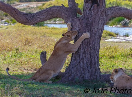 Lion scratches tree in Serengeti National Park