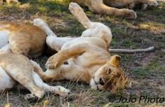 Lazy lion pride in Serengeti National Park
