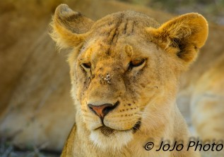 Lion with flies in Serengeti National Park