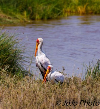 Yellow-billed Storks in Serengeti National Park
