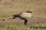 Secretarybird in Serengeti National Park