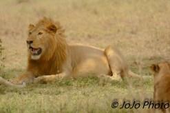 Lion in Serengeti National Park