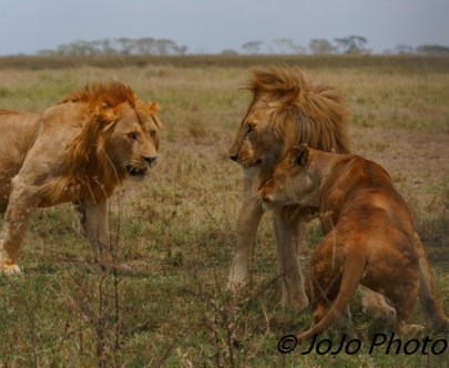Lions challenge in Serengeti National Park