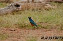 Superb Starling in Serengeti National Park