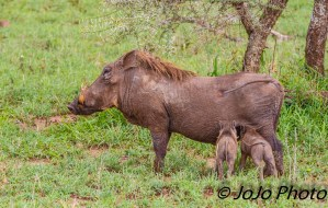 Warthog piglet nursing in Serengeti National Park