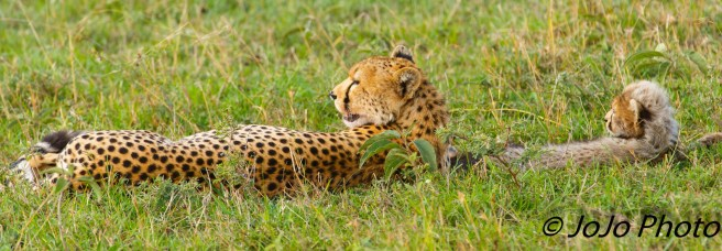 Cheetah with cub in Serengeti National Park