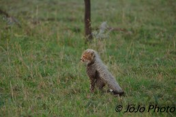 Cheetah cub in Serengeti National Park
