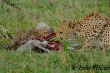 Cheetah with cub eating a wildebeest in Serengeti Nat'l Park