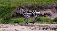 Zebra near Mara River in Serengeti