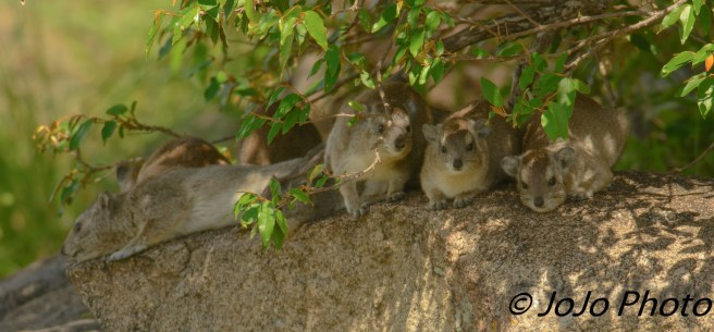 Cape Rock Hyrax Colony in Serengeti