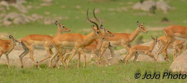 Impala Herd in Serengeti