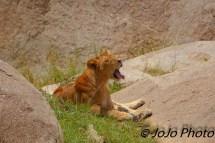 Lioness Yawns in Serengeti