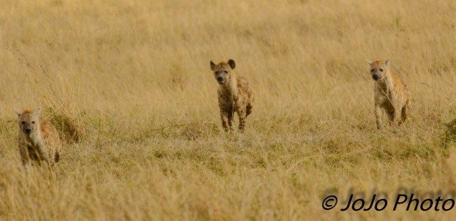 Spotted Hyenas in Ngorongoro Crater