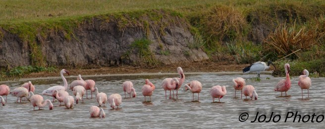 Lesser Flamingos in Ngorongoro Crater