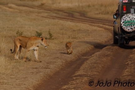 Lioness and cub next to Duma Vehicle in Ngorongoro Crater