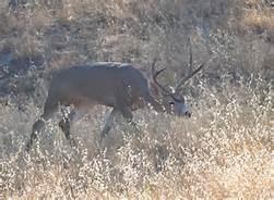 black tail deer 2