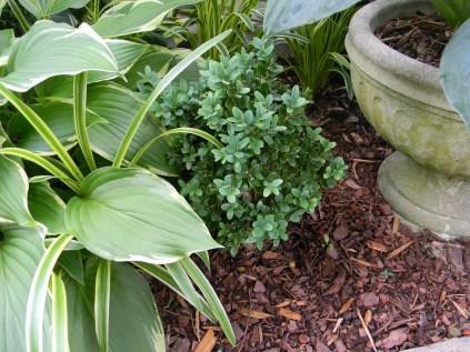 Boxwood Buxus sempervirens