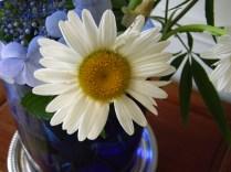 Leucanthemum x superbum 'Becky'