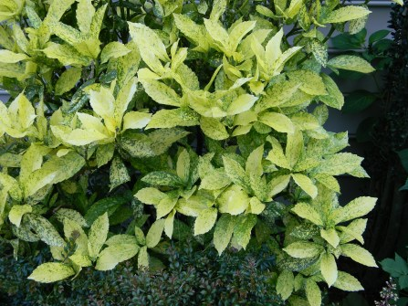 Aucuba japonica 'Mr. Goldstrike'