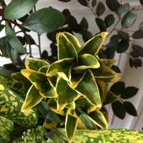Euonymous Aureo-marginata