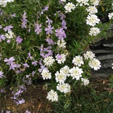 Phlox sublata 'Emerald Blue' and Candytuft