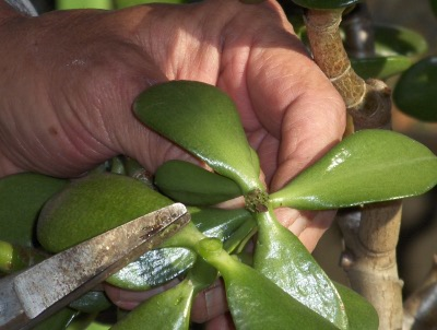 Pruning as an art form--The basics of pruning (4/6)