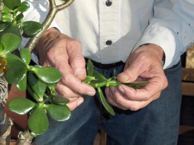 Pruning as an art form--The basics of pruning (6/6)