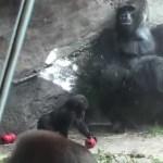 WDW Animal Kingdomアニマルキングダムのゴリラ Silver back,Baby gorilla #ディズニー #followme